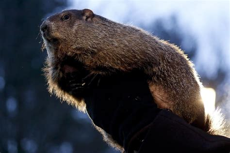 groundhog day running time cops accused of running groundhog with golf cart