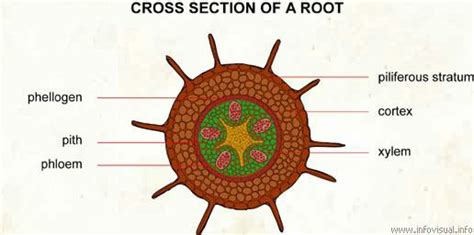 cross section of the root ap biology gt widhalm gt flashcards gt botany cards studyblue