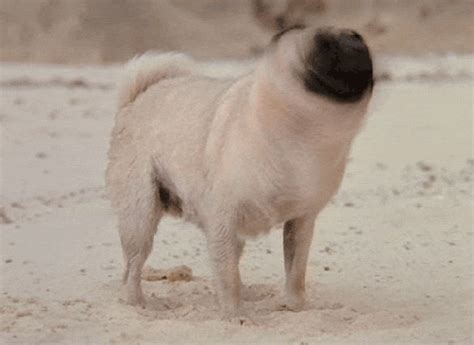 pug gif the 50 best gifs in honor of quot gif quot being named word of the year