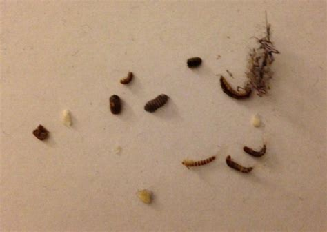 what does bed bug feces look like what does bed bug poop look like fixer tips