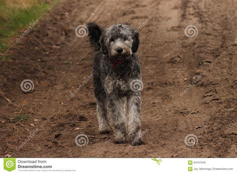 goldendoodle puppy panting goldendoodle standing on grass stock photo