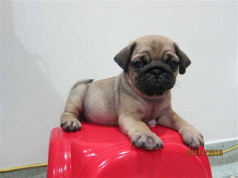 pug adoption melbourne pug puppies for sale for sale adoption from melbourne selangor ang jaya adpost