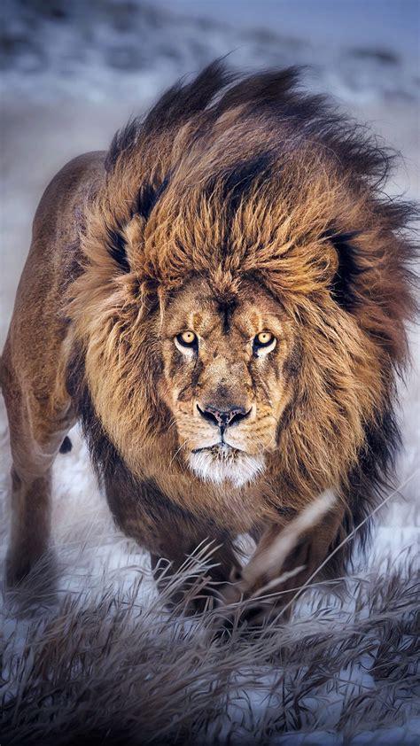 lion iphone wallpaper  images