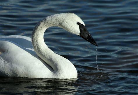 swan closeup photo hd wallpapers