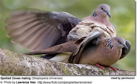 spotted or spotted turtle doves beauty of birds