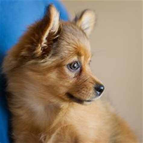 buy yorkie pomeranian mix 1000 images about puppies on pomeranian puppy yorkie and pomeranians