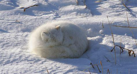 arctic fox threats  arctic foxes defenders  wildlife