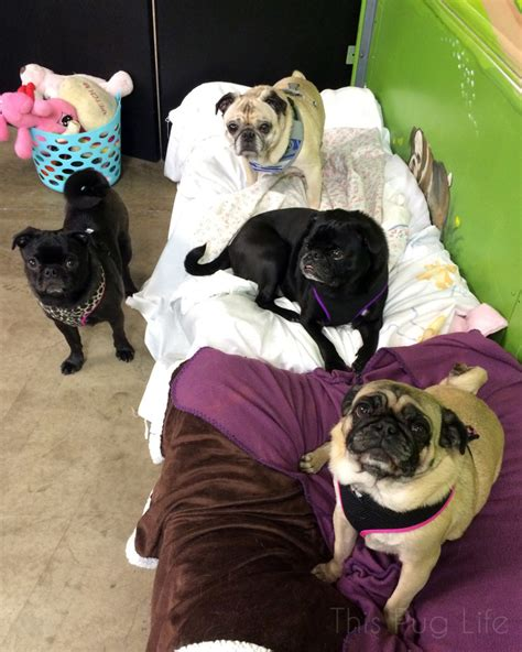 a grumble of pugs pug visits his grumble this pug