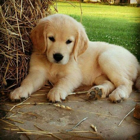golden retriever puppies ta the cutest golden retriever puppies laughtard