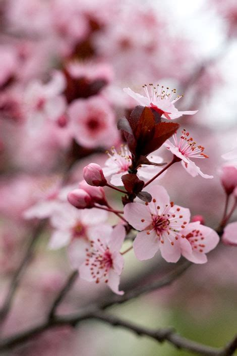 plum blossoms rose notes