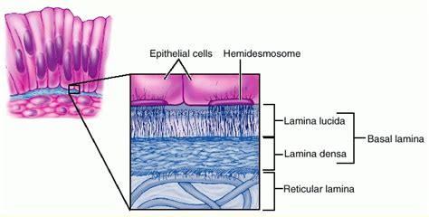 basement membrane epithelium size picture membrane basement jpg