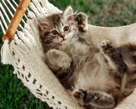 Swings Katze by Sweet Kitten Cats Animals Background Wallpapers On