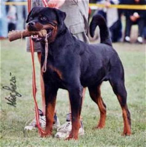 what does a rottweiler eat what do husky dogs eat in the rottweiler hd pictures my eat help