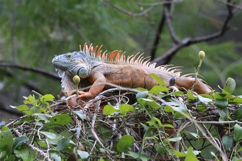 imagenes iguanas verdes archivo iguana verde jpg wikipedia la enciclopedia libre