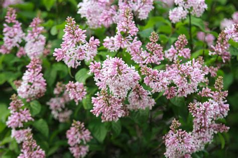 lilac bush fertilizing lilacs when and how to fertilize lilac shrubs