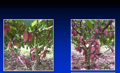 Bibit Kakao Unggul forum komunikasi pbt dua klon kakao unggul dalam gambar
