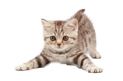 imagenes png blanco tiernas im 225 genes de hermosos gatitos en png para descargar
