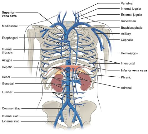 chest cavity diagram brachiocephalic vein this diagram shows the veins