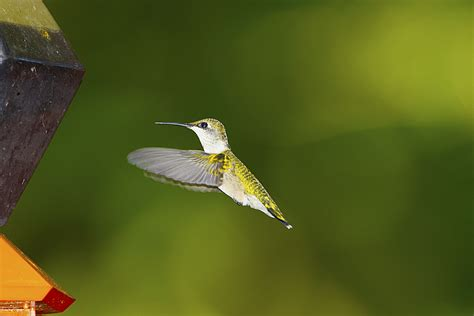 hummingbird species can fly 1 200 miles without stopping