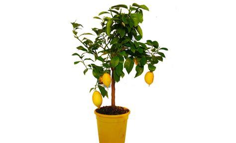 limone 4 stagioni in vaso pianta di limone lunario 4 stagioni in vaso 20 22 cm