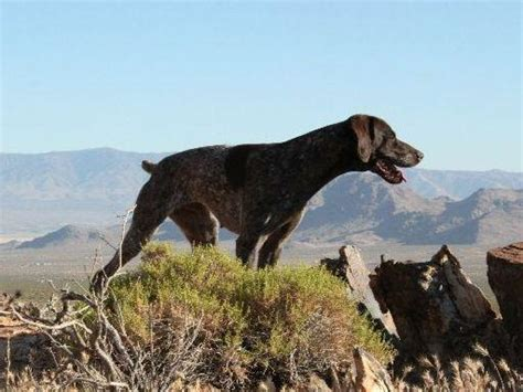 german shorthaired pointer puppies california german shorthaired pointer puppies breeders arnold ca