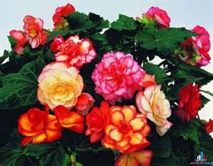 best flower s care begonia