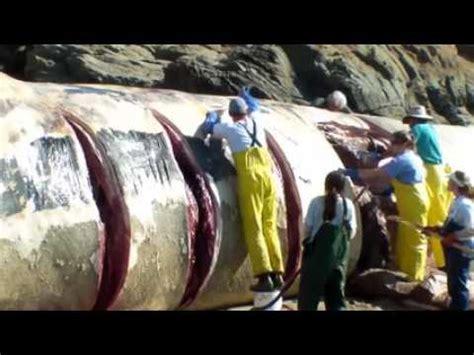 Serum Tokek tokek raksasa terbesar dan termahal di dunia doovi