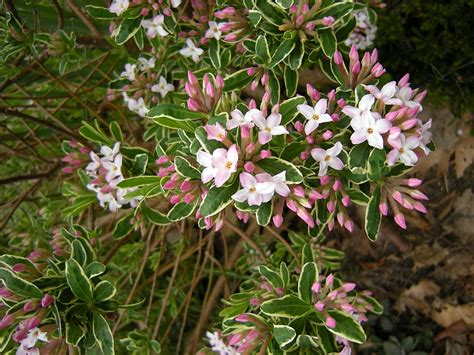 compact shrubs for easy gardens