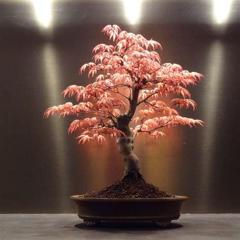 acero in vaso acero giapponese in vaso come coltivarlo casina