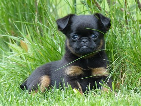 brussels griffon pug mix pug and brussels griffon pug mixed breeds pug mix animal and