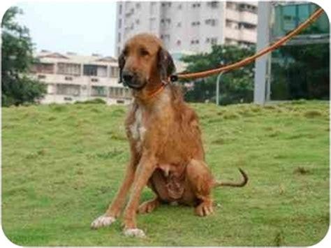 wolfhound golden retriever mix wolfhound golden retriever mix