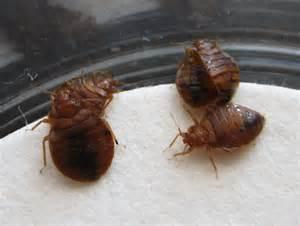 bed bug wings april 171 2012 171 debug the myths