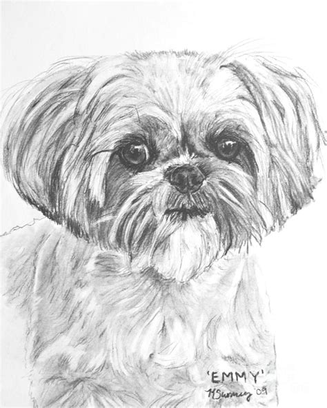 how to draw a shih tzu shih tzu portrait in charcoal drawing by kate sumners