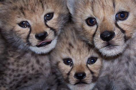 cheetah fossil rim wildlife center