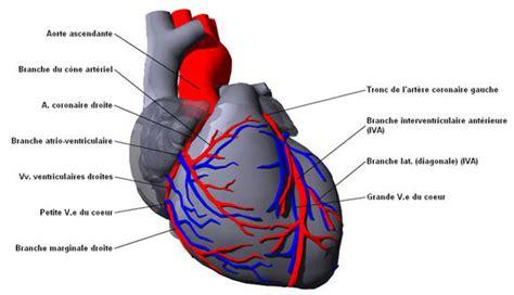 sillon interventriculaire cœur humain