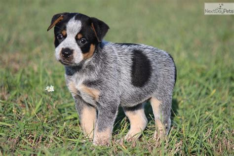 queensland heeler puppies craigslist heeler on yellow breeds picture