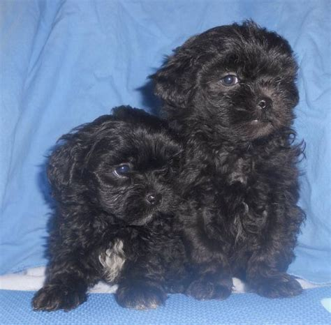 yorkie shih poo 29 best images about poo on