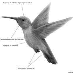 hummingbird drawing guide learn how to draw a hummingbird