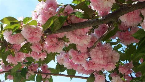 9 cherry tree mlewallpapers blossoming cherry tree iv