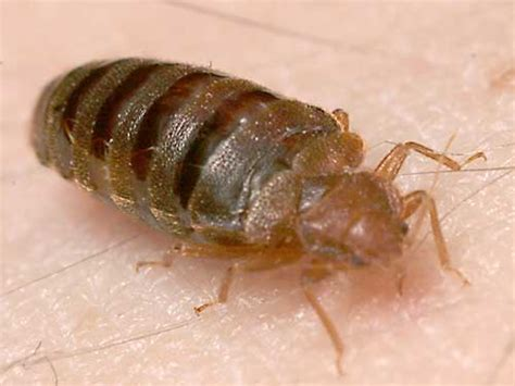 Identify Bed Bugs by How To Identify A Bed Bug Bite 171 Showmehowto Net