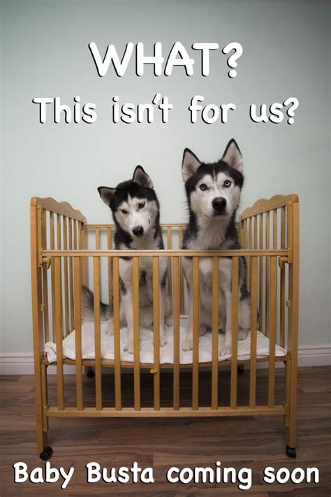 baby announcements with dogs 25 best ideas about baby announcements on pregnancy announcement