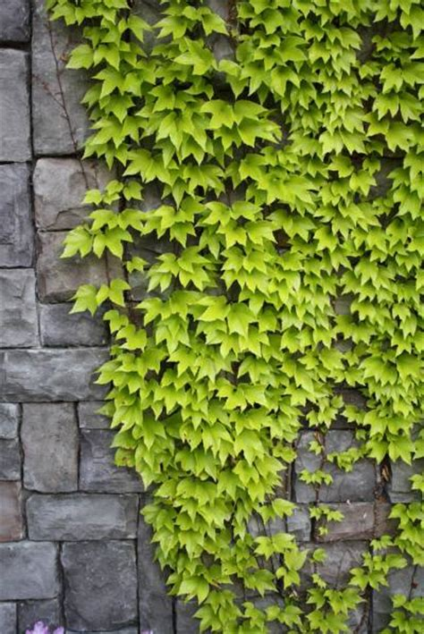 different types of climbing plants the right type of to plant near a wall backyard