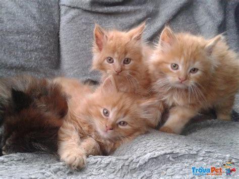 gattini persiani in vendita meravigliosi gattini persiani con pedigree anf in vendita