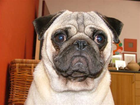 perros pug raza pug fotos de perros pug