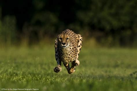 of jaguar freeics cincinnati zoo cheetah sets new world speed record