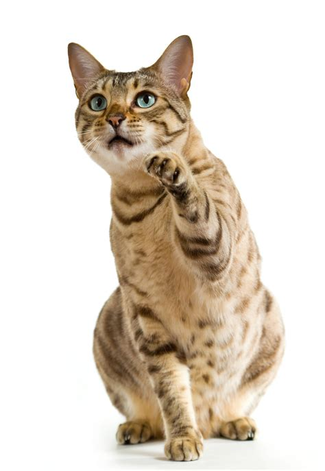 wann kann eine katze trächtig werden impfungen medizinische grundversorgung f 252 r katzen