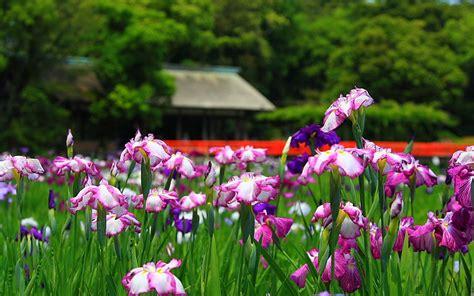 iris flower colors flowers iris flowers
