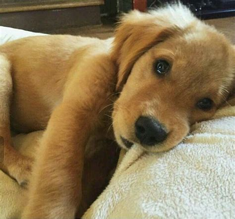 golden retriever puppy not 25 best ideas about puppies on baby dogs doge and