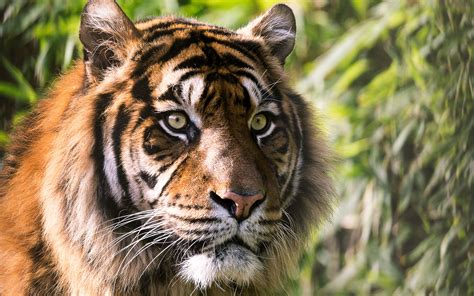 wallpaper 4k tiger tiger 4k wallpapers hd wallpapers id 23328