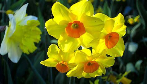 simboli dei fiori significati e simbologie dei fiori di primavera casa